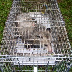 Trapping Opossums in MD, DC, VA