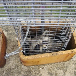Raccoon Removal and Control in Maryland, Washington DC and Northern Virginia