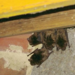 Bat Control and Removal MD, DC, VA