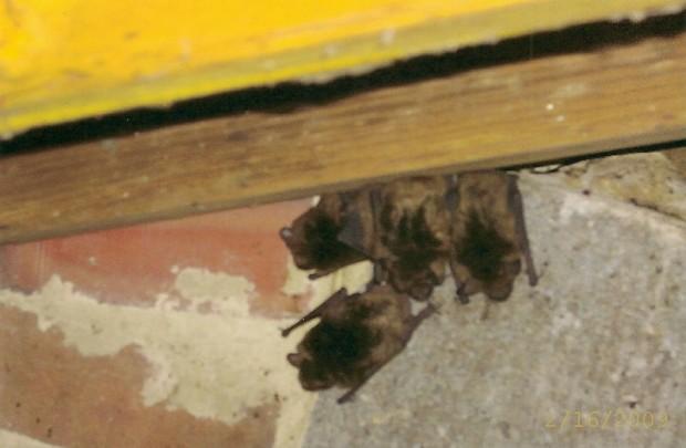 Bat Control and Removal MD, DC, VA