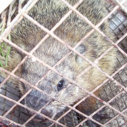 Groundhog Trapping in MD, DC, VA