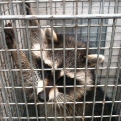 Raccoon Problems MD, DC, VA