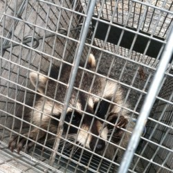 Raccoon Control and Removal in MD, DC, VA