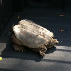 Trapping Snapping Turtles