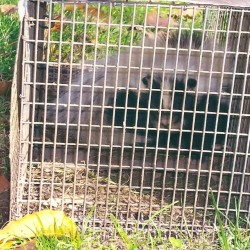 Skunk Trapping in Maryland, Washington DC and Virginia