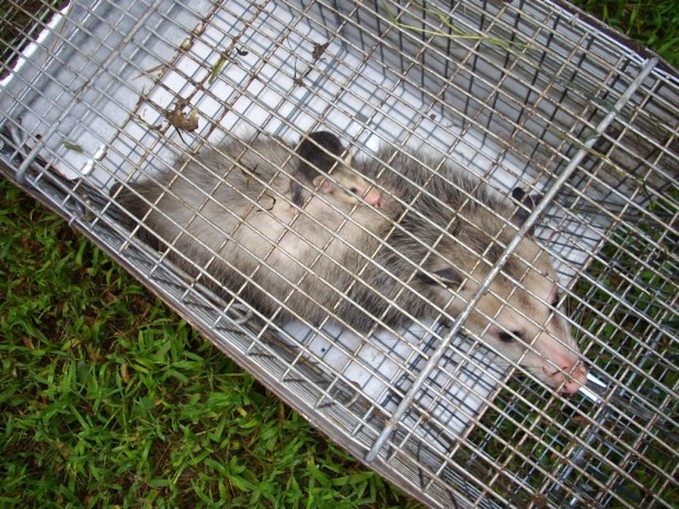 Oppossum Trapping, Control Possums in MD, DC, VA