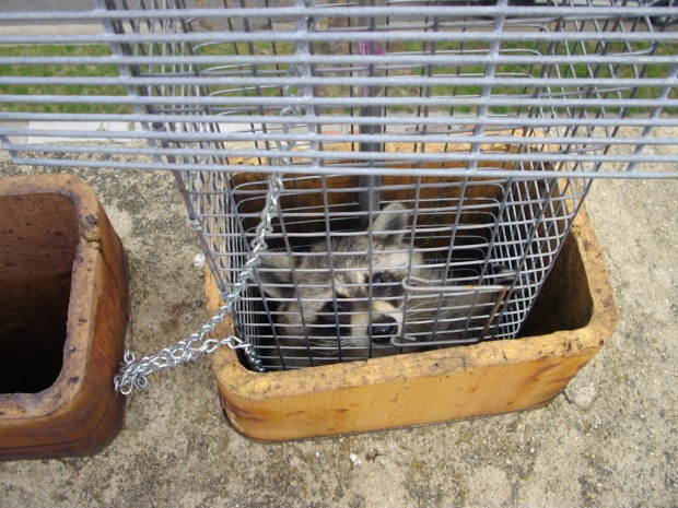 Raccoon Trapping, Removal, Control in MD, DC, VA