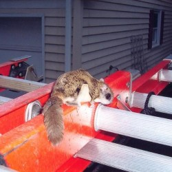 Squirrel Trapping, Removal, Control in MD, DC, VA